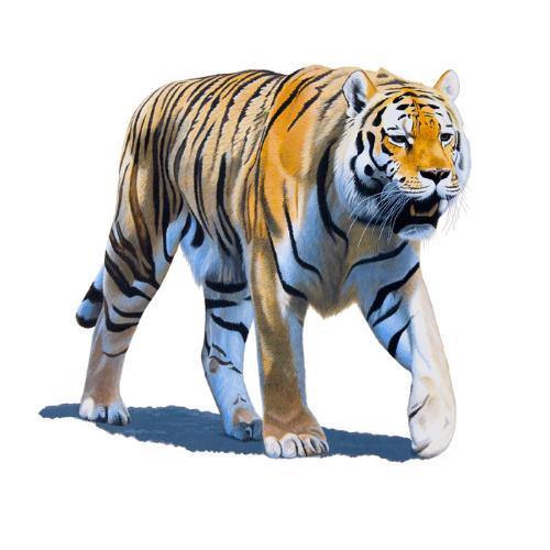 Artwork Siberian Tiger