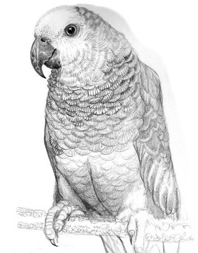 Artwork Parrot drawing