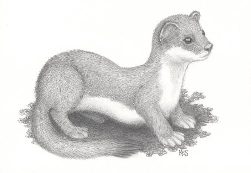 Artwork Stoat drawing
