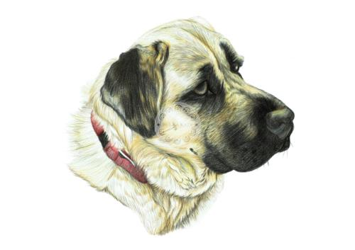 Artwork Aslan the Turkish Kangal