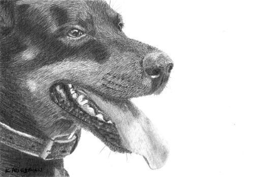 Artwork Doberman - original graphite portrait