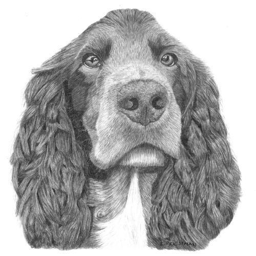 Artwork Cocker Spaniel - original graphite portrait