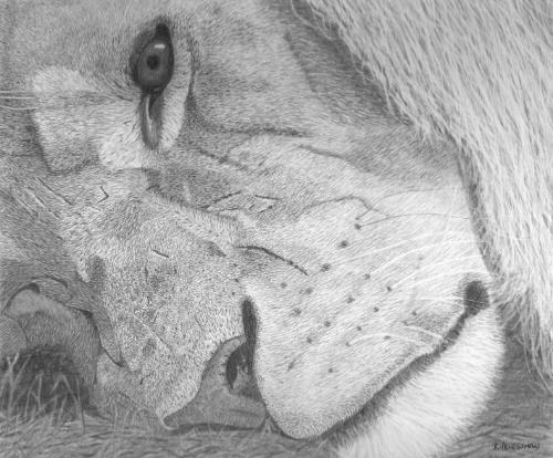Reflection - Original graphite portrait of a lion by KateP