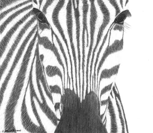 Artwork Zebra - original graphite portrait