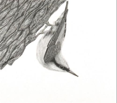 Artwork Nuthatch - original graphite drawing