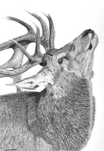 Artwork Red Deer - original graphite portrait