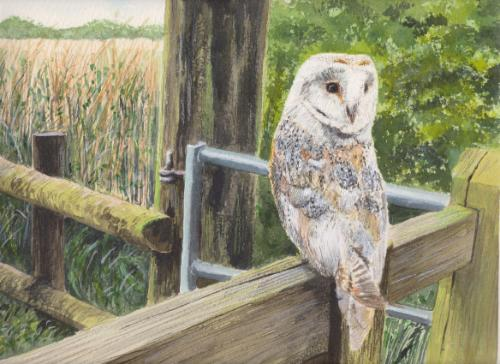 Artwork Barn Owl resting